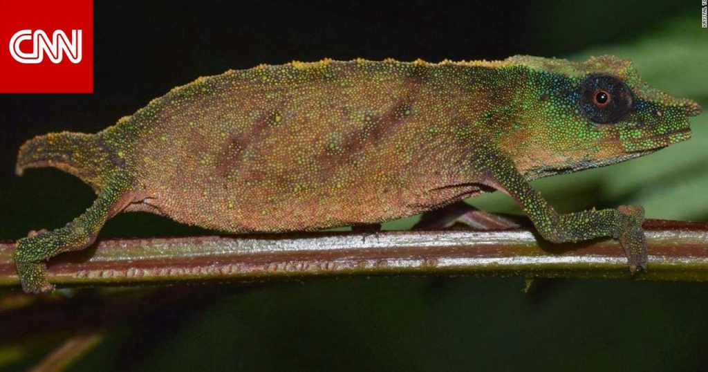 It is believed to be extinct. A rare chameleon was found in the rainforests of Malawi