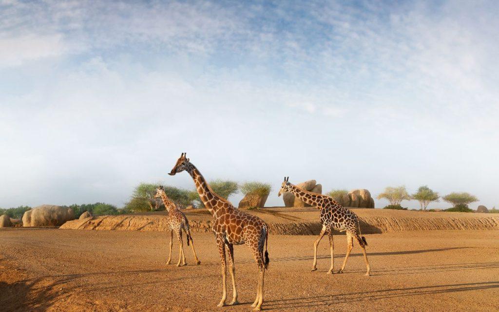 Al Ain Zoo integrates Rothschild giraffes with the African Al Ain Safari - Fujairah Ice Network