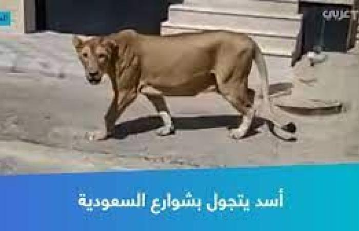 أسد يتجول في شوارع السعودية بعدما هرب من صاحبة ويثير الذعر والهلع بين الناس في مدينة الخبر (فيديو)
